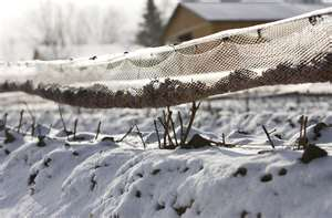 Iced Vineyard [image via David Boily|AFP|Getty Images]