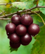 Muscadine Grapes Image via drlindseyduncun